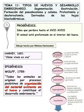 TEMA 11: TIPOS DE HUEVOS Y DESARROLLO EMBRIONARIO. Segmentaci n. Gastrulaci n. Formaci n del pseudoceloma y celoma. Prot