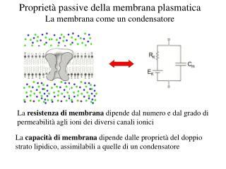 Propriet  passive della membrana plasmatica La membrana come un condensatore