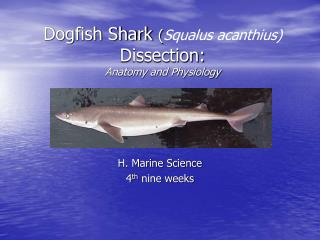 Dogfish Shark Squalus acanthius Dissection: Anatomy and Physiology