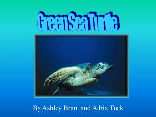 Green Sea Turtle I