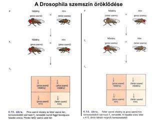A Drosophila szemsz n  r klod se