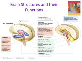 Brain Structures and their Functions
