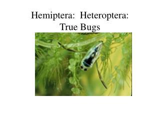 Hemiptera:  Heteroptera: True Bugs