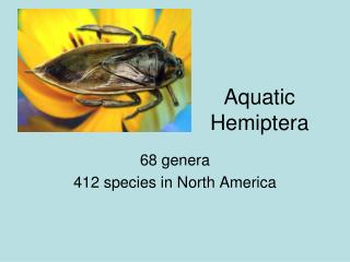 Aquatic Hemiptera