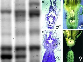 Poszukiwanie marker w molekularnych pomocnych w klonowaniu gen w plci  u og rka Cucumis sativus L.