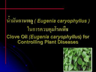 Eugenia caryophyllus    Clove Oil Eugenia caryophyllus for Controlling Plant Diseases
