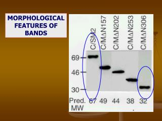 MORPHOLOGICAL FEATURES OF BANDS