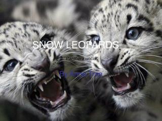 "SNOW LEOPARDS "" Panthera uncia"""