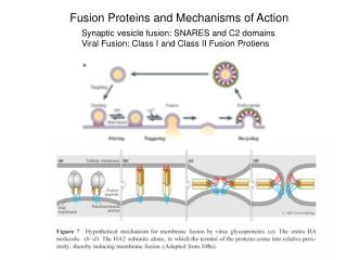 Fusion Proteins and Mechanisms of Action