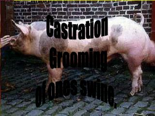 Castration and grooming of Swine.
