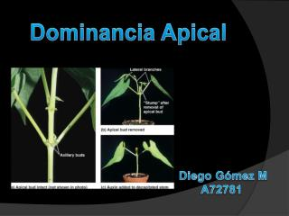 Dominancia Apical