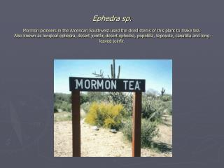 Ephedra sp.   Mormon pioneers in the American Southwest used the dried stems of this plant to make tea.  Also known as l