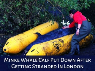 Minke whale calf put down after getting stranded in London