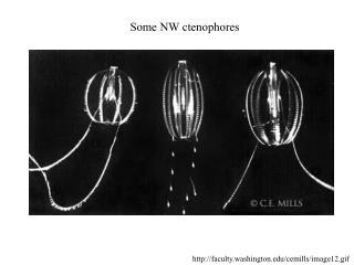 Some NW ctenophores