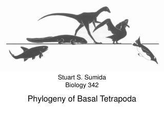 Stuart S. Sumida Biology 342 Phylogeny  of  Basal  Tetrapoda