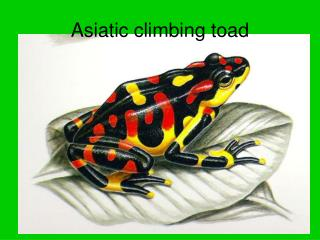 Asiatic climbing toad