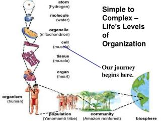 Simple to Complex   Life s Levels of Organization