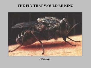 THE FLY THAT WOULD BE KING