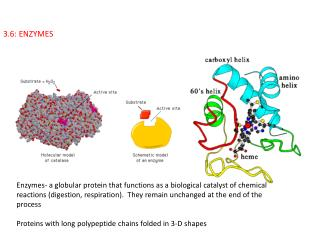 3.6: ENZYMES