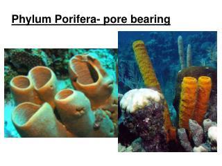 Phylum Porifera- pore bearing