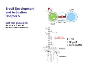 B-cell Development  and Activation Chapter 5