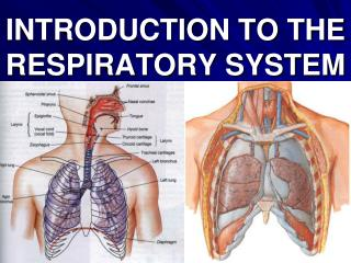 INTRODUCTION TO THE RESPIRATORY SYSTEM