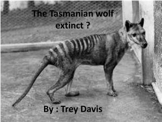The Tasmanian wolf extinct        By : Trey Davis