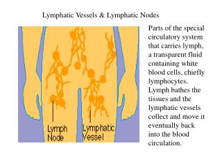 Lymphatic Vessels & Lymphatic Nodes