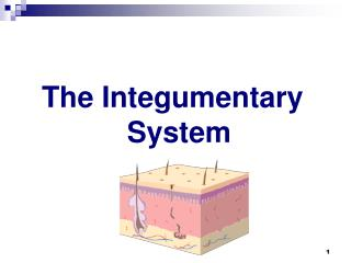 T he Integumentary System