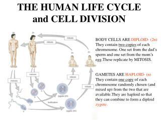 THE HUMAN LIFE CYCLE and CELL DIVISION