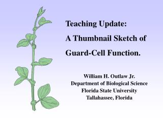 Teaching Update: A Thumbnail Sketch of Guard-Cell Function. William H. Outlaw Jr. Department of Biological Science Flor