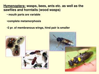 Hymenoptera:  wasps, bees, ants etc. as well as the sawflies and horntails (wood wasps)
