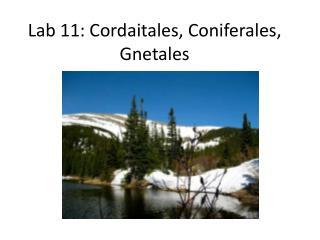Lab 11: Cordaitales, Coniferales, Gnetales