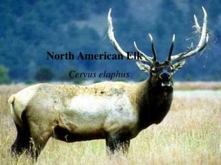 North American Elk Cervus elaphus