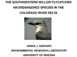 THE SOUTHWESTERN WILLOW FLYCATCHER AN ENDANGERED SPECIES IN THE  COLORADO RIVER DELTA