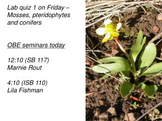 Lab quiz 1 on Friday   Mosses, pteridophytes and conifers   OBE seminars today  12:10 SB 117 Marnie Rout  4:10 ISB 110 L