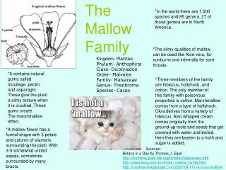 The Mallow       Family