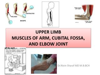 Upper limb Muscles of Arm,  cubital  fossa, and elbow joint