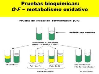 Pruebas bioquímicas: O-F  ~ metabolismo oxidativo