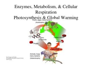 Enzymes, Metabolism,  Cellular Respiration Photosynthesis  Global Warming