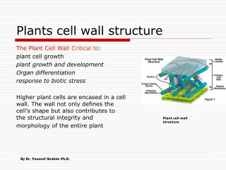 Plants cell wall structure