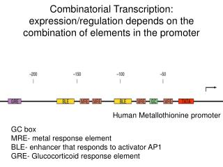 Combinatorial Transcription: expression/regulation depends on the combination of elements in the promoter