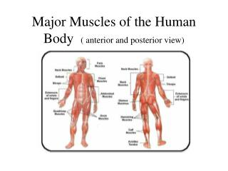 Major Muscles of the Human Body   ( anterior and posterior view)