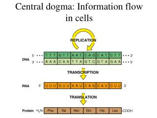 Central dogma: Information flow in cells