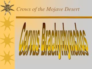 Crows of the Mojave Desert