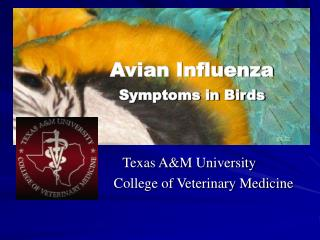 Avian Influenza Symptoms in Birds