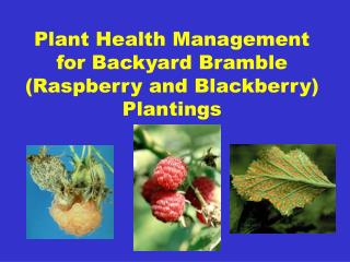 Plant Health Management for Backyard Bramble (Raspberry and Blackberry) Plantings