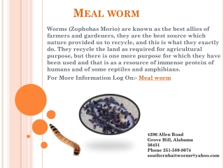 Meal worm