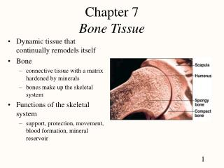 Chapter 7 Bone Tissue