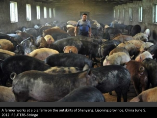 China's dead pig mystery